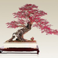 红花继木盆景重要养护点